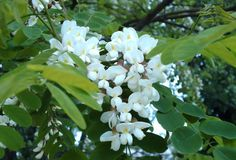 Robinia pseudoacacia • Black Locust Tree • full sun, white flowers bloom early spring