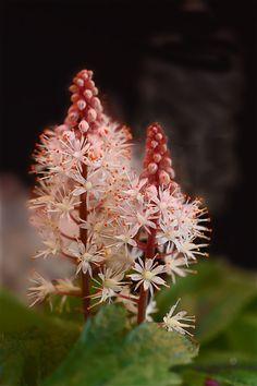 Foamflower (Tiarella) 'Pink Skyrocket'