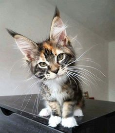 My! What big ears you have...! http://www.mainecoonguide.com/characteristics/