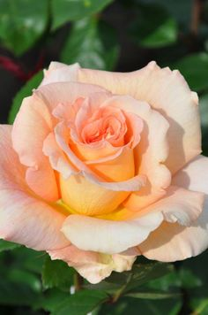 Hybrid Tea Rose: Rosa 'King's Macc' (U.K., 2002)