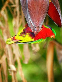 Lorichetto di Kuhl - Rimatara Lorikeet -  Vini kuhlii In Natura, Parrots, Animals, Image, Birds, Animales, Animaux, Parrot, Animal