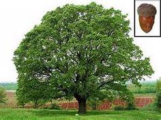 mighti oak, canopi tree, mushroom host, trees, lay egg, walnut tree, black walnut, oak nativ, oak tree