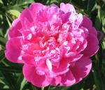 """The bee emerging from deep within the peony departs reluctantly."" - Basho, Matsuo"