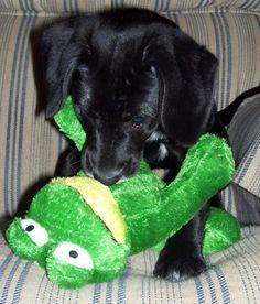 black lab beagle mix   Johnnie the Lab/ Beagle Mix   Puppies   Daily Puppy