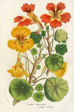 Louis van Houtte 1858 Capuccina-Taco de reina. Flores comestibles, perfectas para una ensalada!