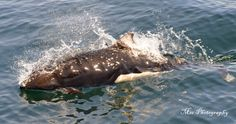 Dalls Porpoise off Victoria BC