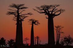 """The Baobab Family"" by Pere Soler, via 500px. Morondova, Madagascar."