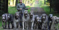 ♡ Love this! Beautiful Irish wolfhounds.
