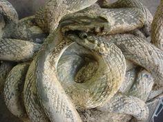 Restauration de patine sur une fontaine aux serpents- Fondeur: Susse http://www.bellino.fr/blog/?p=246
