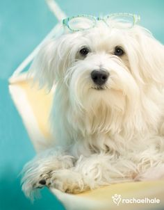 Toby (Maltese Terrier) - Toby loves to get into the swing of things. (pic by Rachael Hale)