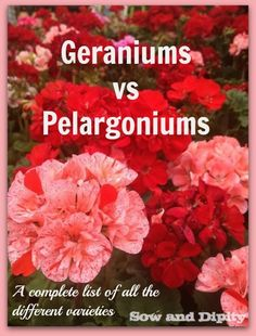 Do *you* know a true geranium from a pelargonium? All the facts on these fascinating flowers.