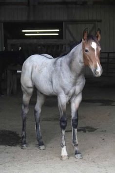 Bay roan colt>nice muscle tone for such a young horse! I'll take this little cutie!
