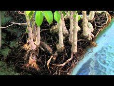 How to Grow Bonsai Trees : How to Care for your Bonsai Tree : Bonsai Maintenance - YouTube