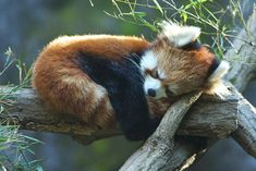 animal, cute, nature, red panda, sleep