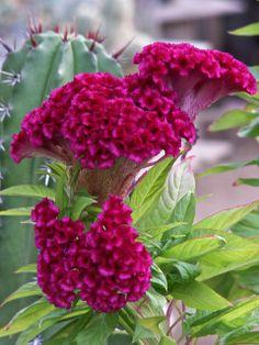 Beautiful, Cockscomb bloom by dagutzyone's , via Flickr