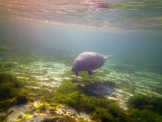 Manatee, Crystal River