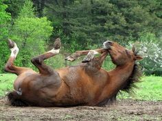 What a horse can do.... our horse loves doing this after being ridden.