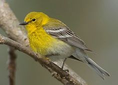 Pine Warbler (male) They visit our feeders in winter.