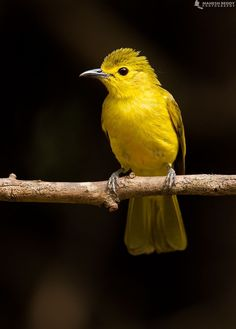 Yellow-browed Bulbul (by Mahesh Reddy).