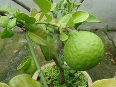 14 dolog, amit nem tudtál a dézsás citrusfélékről   Hobbikert Magazin Fruit, Lime, Lawn And Garden, Limes, Key Lime