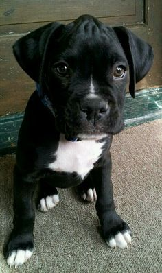 Another Good Looking Black w/White Boxer Puppy. I really like not having full white socks but just the paw toes/tips! (Unsure of the source)
