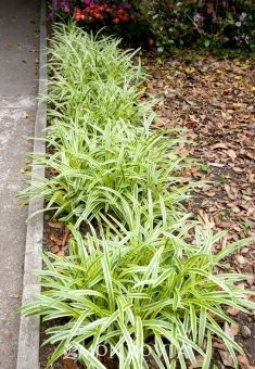 Variegated Lilyturf - Monrovia - Variegated Lilyturf zone 6-11 Lilac flowers appear on stems as tall as the leaves. Easy to grow clump forming groundcover or edging around perennial or shrub borders.