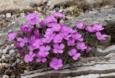 Dianthus microlepis Alpine Garden Society