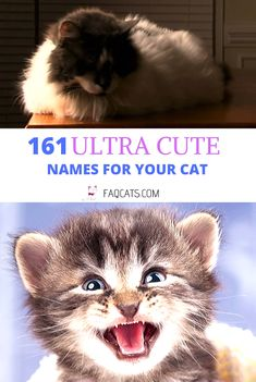 Looking unique girl names for your cat breed? Click over to read our huge list of 161 cat names! Whether your cat is grey, black, white, or orange, there is a name you can use on this list. Be sure to check out our unique French and Disney names too! Kitten Names Girl, Grey Cat Names, Tabby Cat Names, Funny Cat Names, Cute Girl Names, Cute Kittens, Cats And Kittens, Calico Cat Names, Unique Cat Names