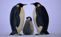 BBC Nature - Emperor penguin videos, news and facts