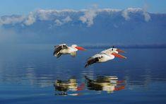 Kerkini lake near Serres town Macedonia Greece Macedonia Greece, Dalmatian, Wildlife, Greek, Birds, Nature, Painting, Animals, Rivers