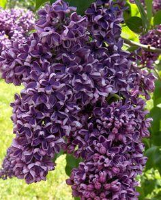 Syringa vulgaris 'Albert Holden' Syringa Vulgaris, Lilac Tree, Lilac Bushes, Shades Of Purple, Shrubs, Beautiful Flowers, Cle Elum, Lavender, Lilacs