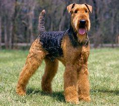 Terrier Galés