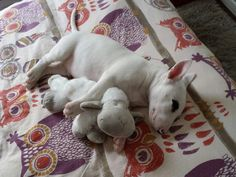 asleep with my sheep. Doggies, Dogs And Puppies, White Bull Terrier, English Bull Terriers, Cute Photos, Beautiful Dogs, Mans Best Friend, Dog Life, Yorkie