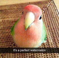 Perfect description of a watermelon bird