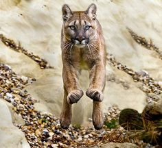 See a mountain lion in the wild...preferably NOT from this angle ;)