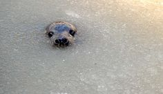 Friedrichskoog, Germany — A young gray seal peeks out of partly frozen water at a breeding station