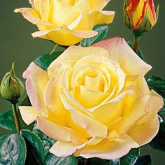 Climbing Peace Rose...  Its creamy-gold blooms are washed with pink, will bloom several times a year.  Size 2 grade roses.
