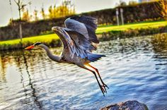 Second #heron I seen today, this time on the south side of the city in tymon park. Had the camera with me this time 🤗📸  .  .  .  .  .  #dublin #tymonpark #bird #birds #birdsofinstagram #loveireland #lovindublin #nature #naturephotography #natgeo #discoverdublin #ireland #igersireland #nikon #nikkor35mm #d3300 #snapseed #huaweisnapys #naturelovers #naturephotography