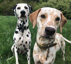 Khaleesi &Django- Dalmatians ( A lemon dalmatian! Cute Puppies, Cute Dogs, Dogs And Puppies, Doggies, Animals And Pets, Baby Animals, Cute Animals, English Mastiff, Beautiful Dogs