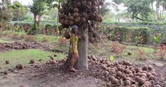 The Cannon Ball Fruit tree WILLIAM STEWART CAME FROM a small town called Tenom, a remote place in Malaysian Borneo. His father, Davi... William Stewart, Borneo, Travel And Leisure, Fruit Trees, Small Towns, Cannon, Agriculture, Remote, Father
