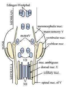Cranial Nerve origins
