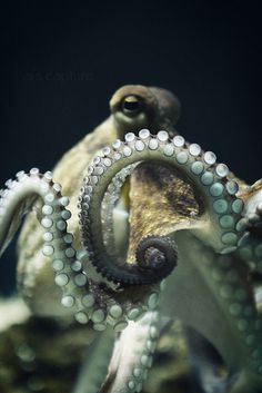 Octopus with come-hither look.