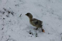 Bird, Animals, Hens, Animales, Animaux, Birds, Animal, Animais