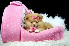 Teacup Pomeranians -  Pearl  http://www.teacuppuppiesstore.com/PomeraniansForSale.html Date of Birth: 09/01/2013 Registry: APRI Call -(954)353-7864  we are open until 9pm Email: gteacups@yahoo.com #teacup puppies, #teacups  #puppies #dogs #puppy # miniature #pom #Pomeranians  #Teacup Pomeranian #mini  #CUTE