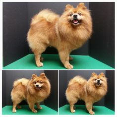 Pomeranian haircut, pom grooming.. I guess this one isnt' too bad