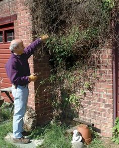 How & When to Prune your Clematis Vines -- Fine Gardening Article Pruning Plants, Garden Plants, Garden Trellis, House Plants, Fine Gardening, Gardening Tips, Organic Gardening, Flower Gardening, Clematis Vine