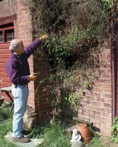 Pruning Clematis - best guide I've found | Fine Gardening