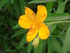 Quien da una flor de amancay está ofrendando su corazón... | - Amancay -