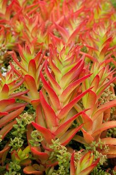 Crassula coccinea 'Campfire' World of Succulents