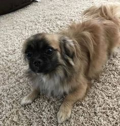 Is This Your Dog?- Little Canada- Pekingese- Male  Date Found: 05-09-2018 Breed of Dog: Pekingese Gender: Male Closest Intersection: Ontario Road & Labore City where Found: Little Canada Zip Code 55117 County: Ramsey Color: Tan / Black Dog's Age: Adult Dog's Size: Small (Under 20 lbs) Any information on how lost description etc: Walking alone down the road. Scanned and no microchip.  This dog is not for adoption. Finder will only accept calls/emails regarding location of the dog's family…